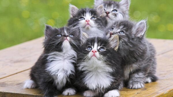 44722-cats-persian-kittens
