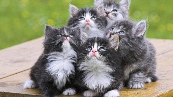 44722-cats-persian-kittens